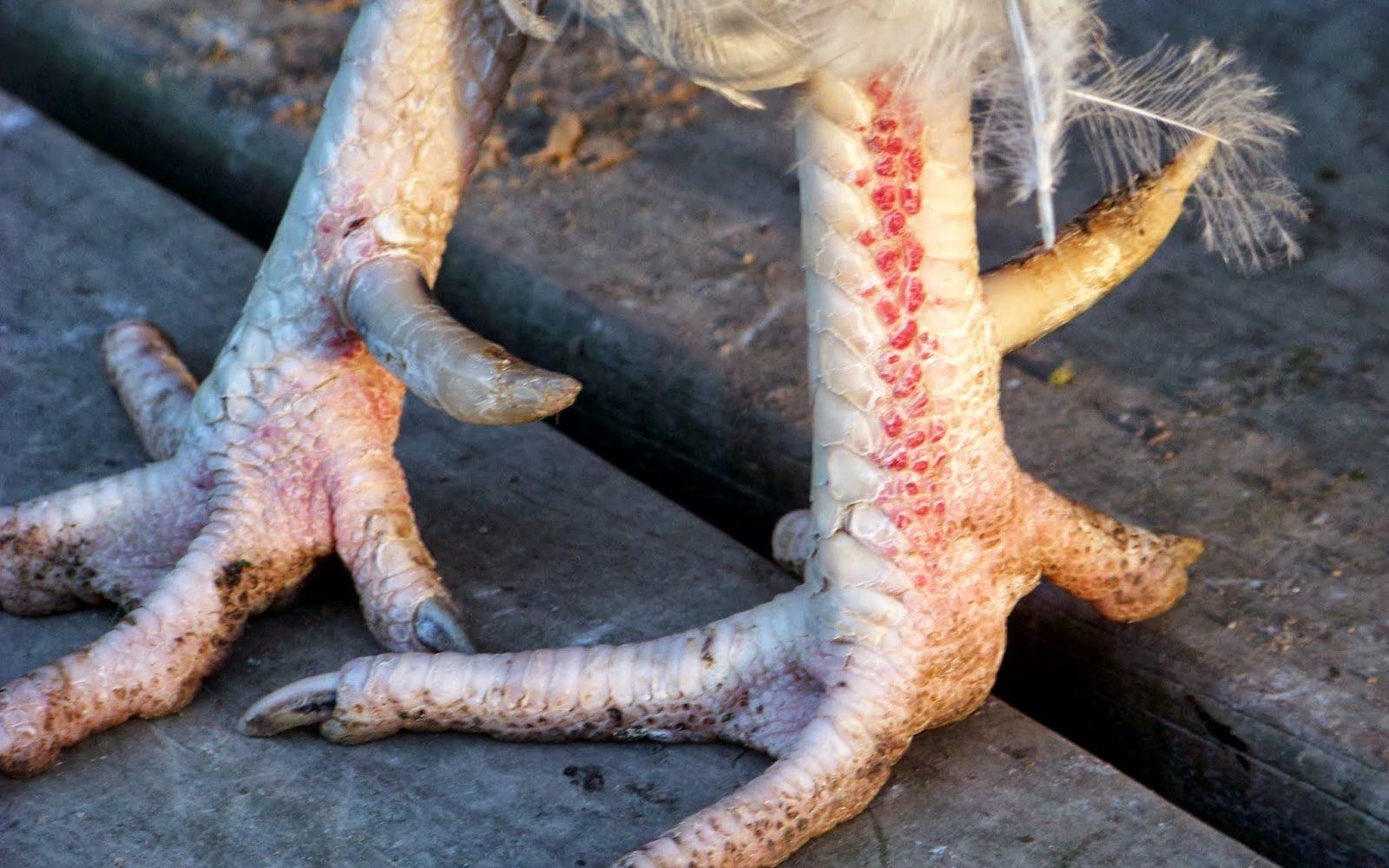 петушиные ноги